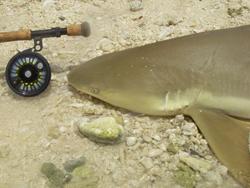 Requin capturé aux Seychelles Canne Thomas & Thomas Solar 9p soie 12 Moulinet Abel Super 12W