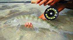 Bonefish capturé à Los Roques,  au large du Vénézuela   Canne Thomas & Thomas Horizon II 9p soie 8  Moulinet Abel Super 9
