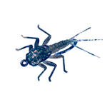 Nymphe d'éphémère 10 - Black