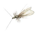 Trichoptère adulte 83 - Ash Grey